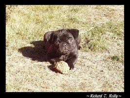 Young Pug